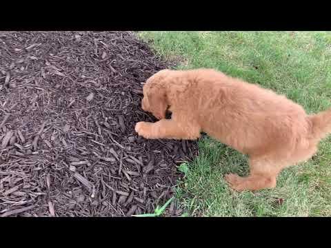 PuppyFinder.com : Dazzling Daisy