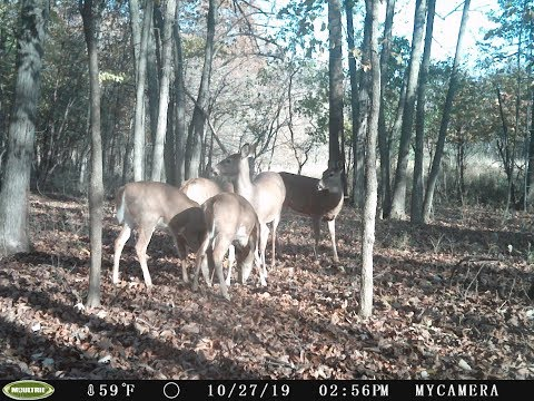 2019-wisconsin-deer-season-rut---bucks-chasing-does-during-bow-hunt---big-bucks-wi-deer-live-action