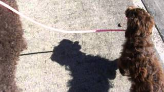 Standard Poodle Leash Training An Aussiedoodle Puppy