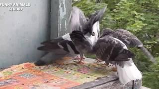 Голуби - Хвостики осваивают территорию и Новый жилец - Голубиная сага - 15 эпизод