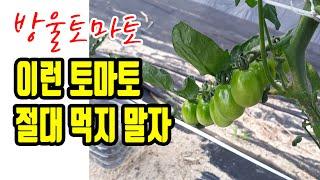 방울토마토 솔라린 중독 익지 않은 토마토의 무서운 독성