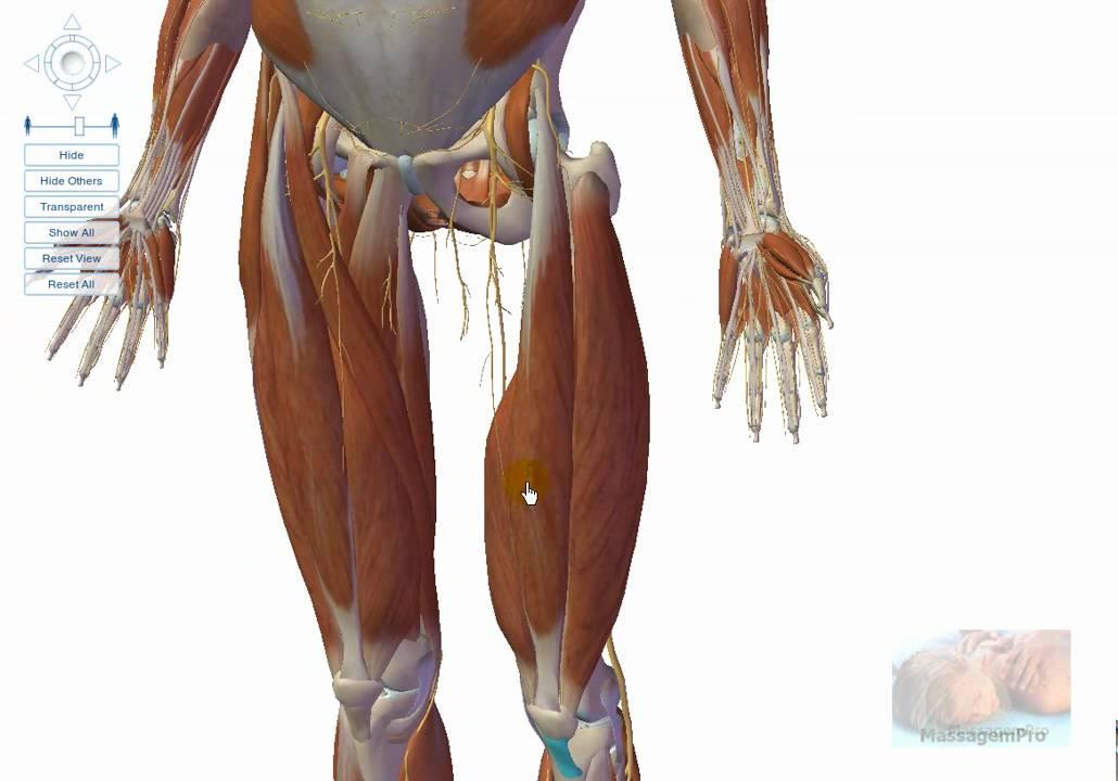 musculos parte posterior da coxa