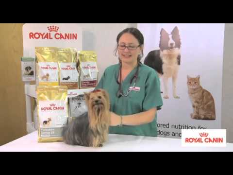 Yorkshire Terrier Breed Health Nutrition