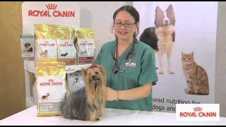 Yorkshire Terrier Breed Health Nutrition - Royal Canin