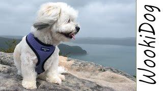 Malshi Dog  Rock Mountain Dog Walk (Part 1), Wookidog |4K Dog Walking Video [Maltese Shih Tzu mix]