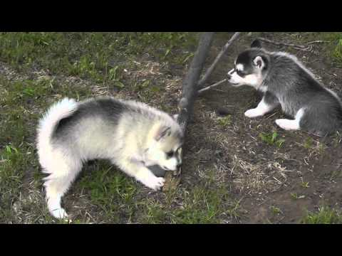 Alaskan Klee Kai- sister takes nothing from brother!