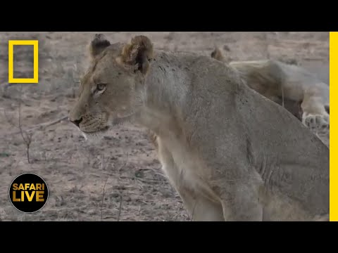 Safari Live - Day 265 | National Geographic