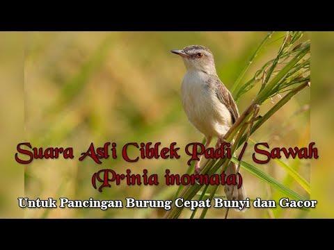 Suara Asli Burung Ciblek Sawah / Padi / Pari untuk Pancingan Burung Gacor (Prinia inornata)