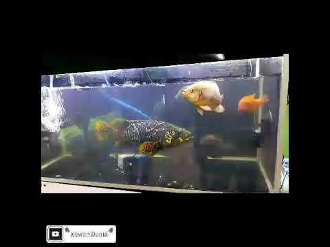 Part 2 Galaknya Nafsu Makan Ikan Kerapu Emas Di Akuarium Bumblebee Grouper Fish Youtube