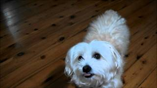 """ Snowy The Maltese Terrier "" Doing Tricks  !"