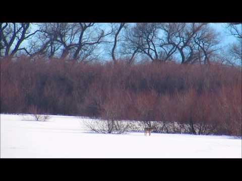 Coyote on the Lower Klamath Wildlife Refuge; Marla Hanlon-Abeita, 012917