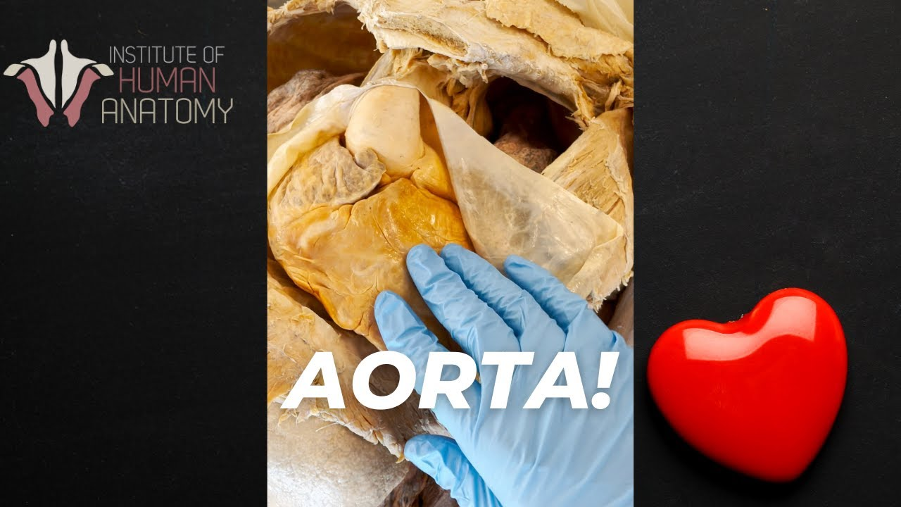 Largest Artery in the Body! | #shorts