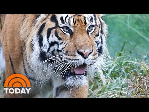 Tiger Kills Potential Mate After Zookeepers Tried To Breed Them | TODAY Mp3