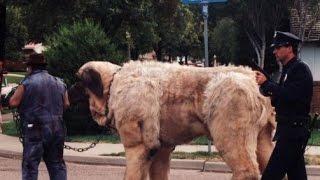 видео Вольер для собак больших пород: алабай, овчарка, хаски + фото