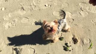 Iphone 6s 4k Resolution Movie : Yorkshire Terrier Playing One The Beach Great Quality