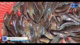 BẮT 1 RỔ cá Lia Thia đồng ĐUôi Dài ► ĐEm vô Nuôi ĐẸp Hết hồn - Cá Cờ, cá Bã trầu ĐẸP