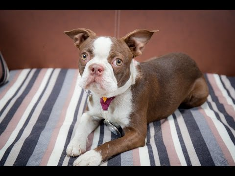 Scarlett - Boston Terrier - 3 Weeks Residential Dog Training