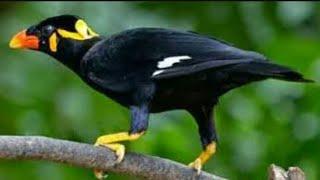 vuclip Burung beo ngomong