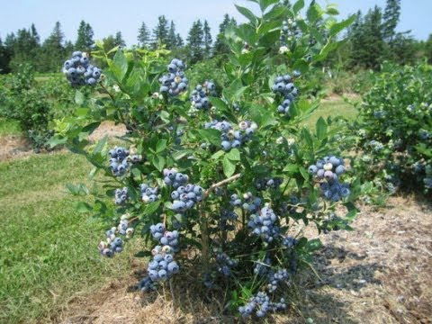 Growing Blueberries In Ericaceous Compost Acid Compost