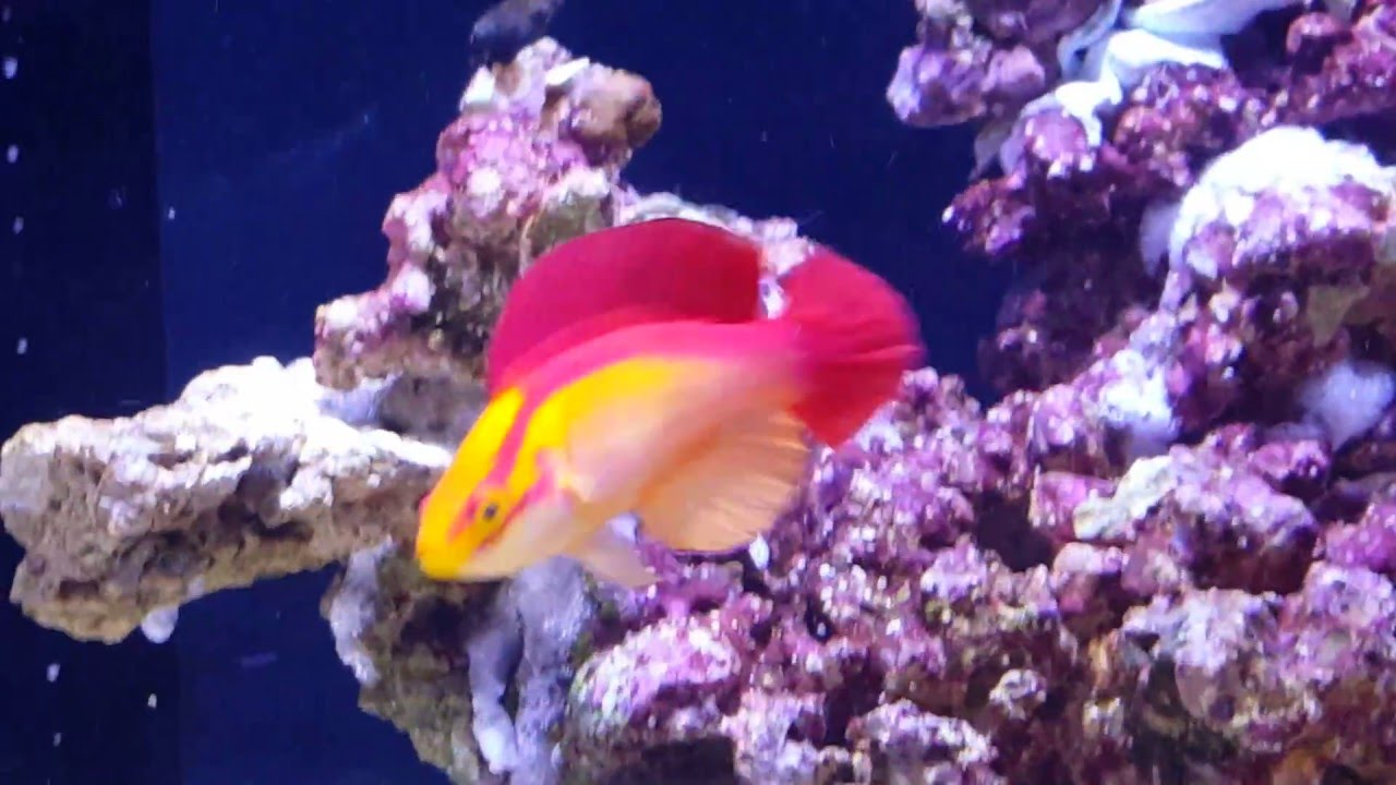 Hawaiian Flame Wrasse Supermale Pair Youtube