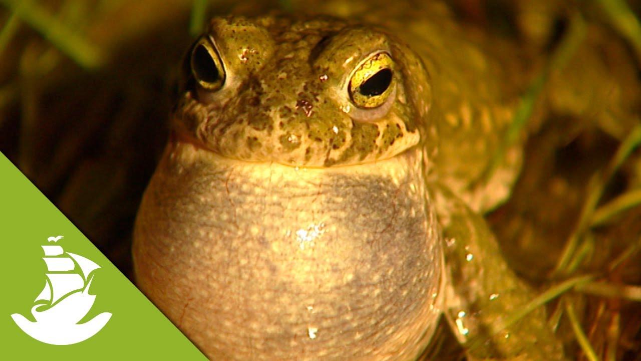Download Frog Courtship