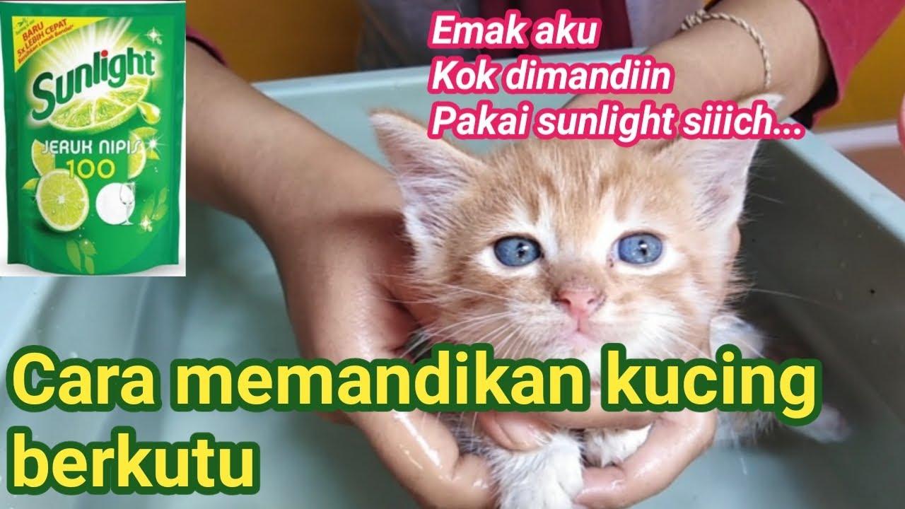 Cara Memandikan Kucing Berkutu Kucing Usia 1 Bulan Youtube