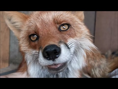 Lovely and Friendly Fox