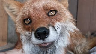 Lovely and Friendly Foxy