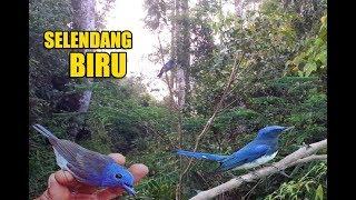Pikat burung selendang biru di hutan menggunakan suara mp3