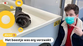 Zeldzame zwarte zeehond naar opvang gebracht