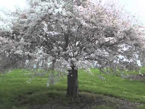 prunus subhirtella autumnalis autumn cherry tree youtube. Black Bedroom Furniture Sets. Home Design Ideas