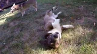 Corgi needs to scratch her back (Corgi rolling in the grass)