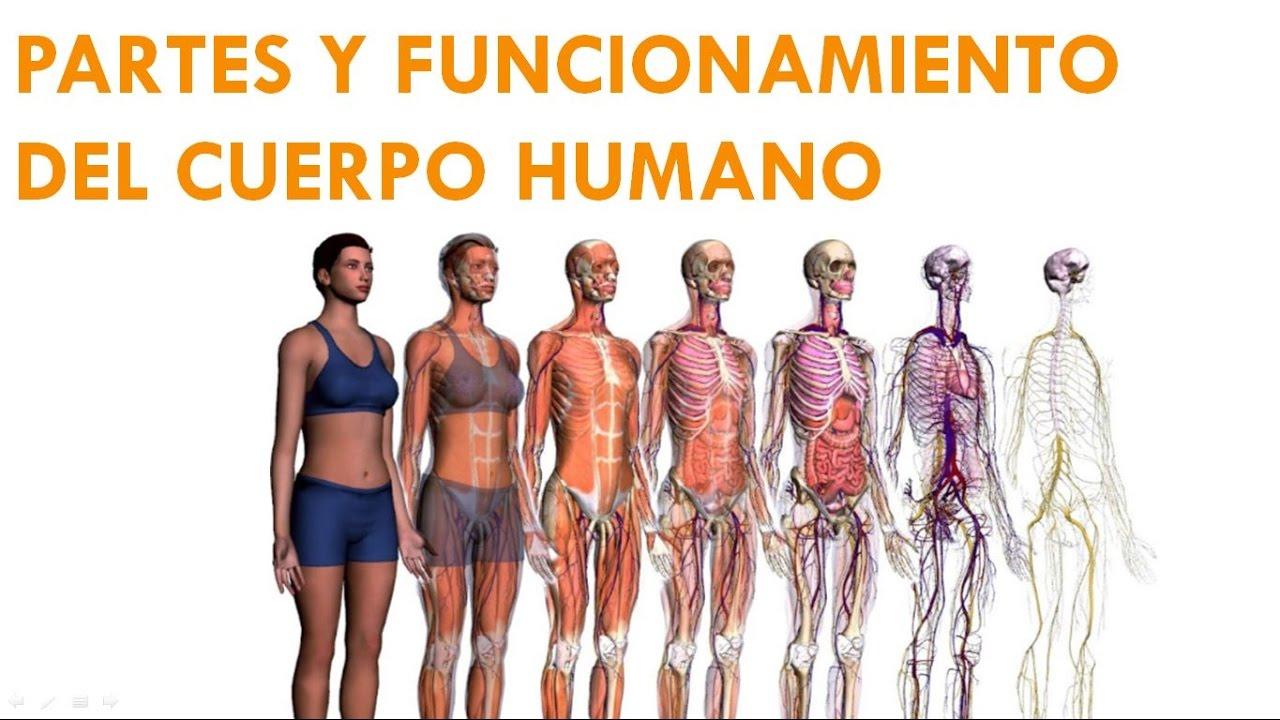 PARTES Y FUNCIONAMIENTO DEL CUERPO HUMANO 1-2 - YouTube