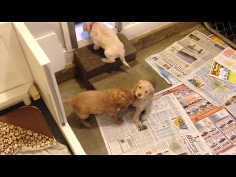 Olive's Australian Labradoodle Puppies - 5 weeks old