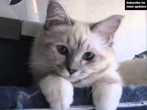 Birman Kitten | Set Of Cat Breed Pictures