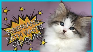 Part 4  Siberian cats with White.