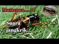 Masteran Suara Jangkrik Jernih  Mp3 - Mp4 Download