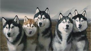 Phân Biệt Chó Alaska Với Chó Husky