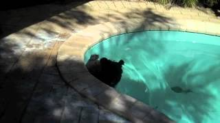 A Cairn Terrier Sophie Cooling Off