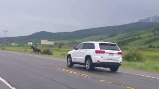 CAR HITS MOOSE in Colorado - White River National Forest thumbnail