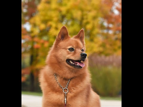 Top 10 reasons to have a Finnish Spitz
