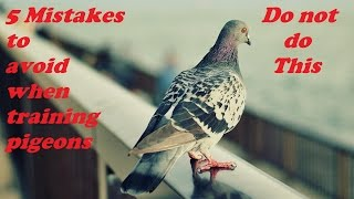 5 mistakes to avoid when training your pigeons to come back home