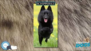 Schipperke  Everything Dog Breeds