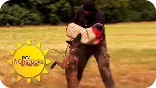 Schrecken Hunde Einbrecher ab? Selbsttest mit erschreckendem Ende   SAT.1 Frühstücksfernsehen   TV