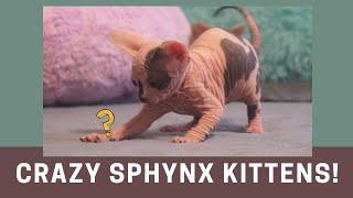 Baby Sphynx Kittens Break Out of Jail!!!