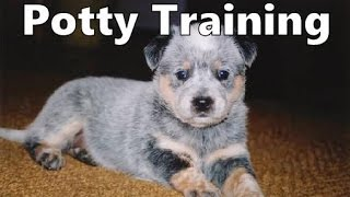 How To Potty Train An Australian Stumpy Tail Cattle Dog Puppy - Australian Stumpy Tail Cattle Dog