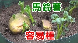 馬鈴薯種植袋 非常理想 好用 How To Plant Potatoes 洽購  有為農園 line 0921104500