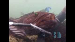 Spearfishing Lingcod 2013