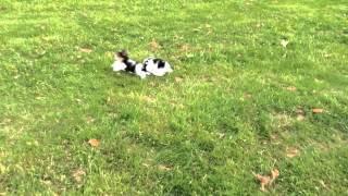 Echte Reinrassige Biewer Yorkshire Terrier Welpen!