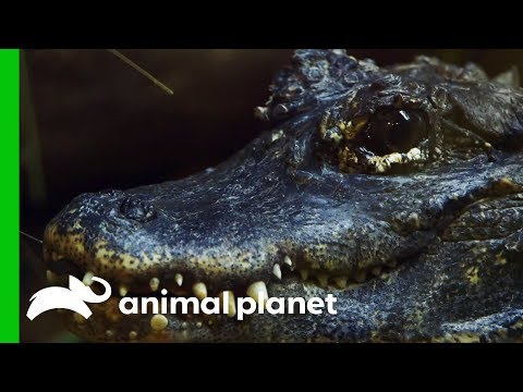 Is This Critically Endangered Alligator Getting Ready To Lay Eggs? | The Zoo